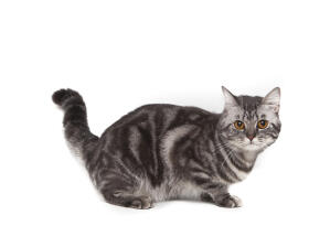 A lovely grey marbled american shorthairr Cat