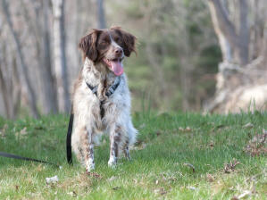 An adult brown and white Brittany with a beautiful, long, soft coat