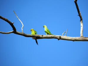 Two lovely Blue Winged Parrotlets perched high up in a tree