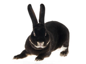 A beautiful Otter Rex rabbit with incredible tall ears