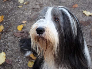 A Bearded Collie waiting patiently for some attention from it's owner
