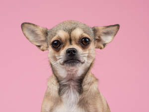 A close up of a Chihuahua's lovely tall ears
