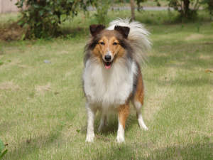 A lovely adult Collie's healthy long coat and big, bushy tail