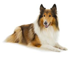 An adult Collie with a wonderful, soft coat