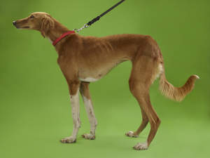 A lovely, little Greyhound with a beautiful soft coat