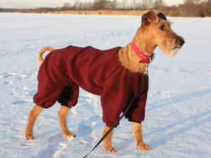 A beautiful, tall Irish Terrier wearing a red coat to keep it warm
