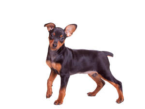 A lovely little Miniature Pinscher with cheeky little ears