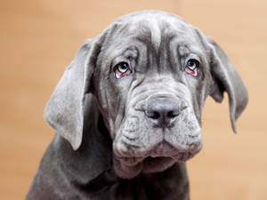A close up of a Neapolitan Mastiff puppy's soft coat and wrinkly skin