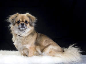 A wonderful, little Tibetan Spaniel posing, waiting patiently for a command
