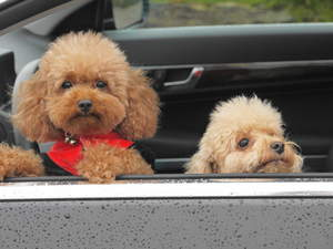 Two little Toy Poodles poking their heads out of the car window