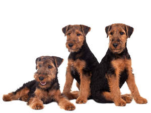 Three wonderful, little Welsh Terriers enjoying each others company