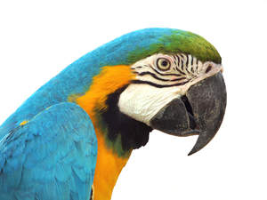 A close up of the Blue and Yellow Macaw's lovely colours