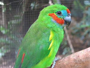 A Double Eyed Fig Parrot's beautiful green top feathers