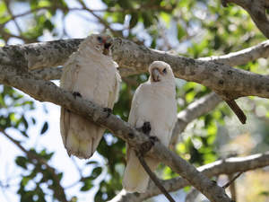 Two lovely Little Corellas perched in a tree