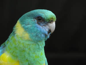 A close up of a Mulga Parrot's beautiful green and yellow head feathers