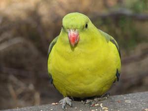 A Regent Parrot's great, big, yellow chest feathers