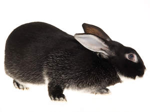 A beautiful Silver Fox Rabbit with wonderful dark fur
