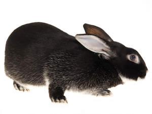 A beautiful Silver Fox Rabbit with wonderful dark fur