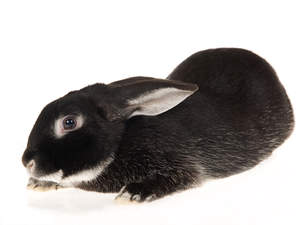 A lovely Silver Fox Rabbit with it's ears pushed back