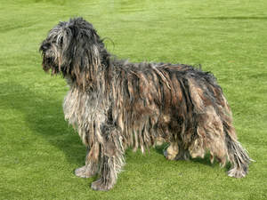 An adult Bergamasco standing tall, showing off it's healthy strong body