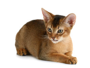 A young Abyssinian Cat with a plush coat