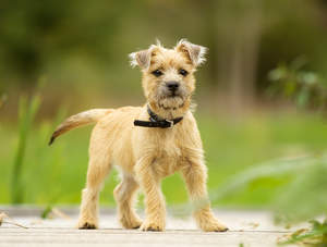 A beautiful little Cairn Terrier puppy, standing tall