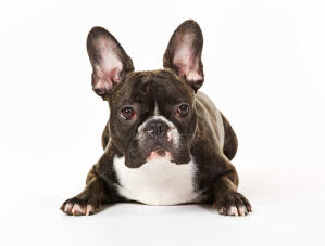 The characteristic tall, pointed ears of a French Bulldog