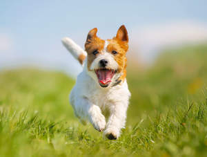 An excited Jack Russell Terrier sprinting towards it's owner