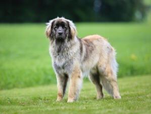 A healthy adult Leonberger with a beautiful, thick coat