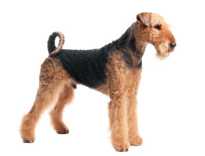 An Airedale Terrier standing tall