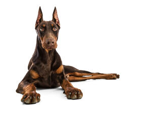 A powerfull Doberman Pinscher resting