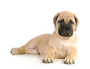 A young, light coated Bullmastiff laying back