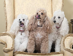 Three wonderful Miniature Poodles sitting up on an armchair, wanting some attention
