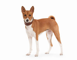 A beautiful Basenji, showing off it's amazing red and white coat
