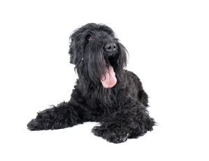 A mature adult Black Russian Terrier liying down with it's tongue out