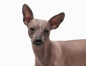 The cat like head of a mexican hairless
