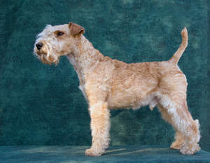 A healthy Lakeland Terrier showing off it's wonderful long legs