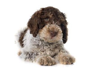 A close up of a Portuguese Water Dog puppy's thick soft coat
