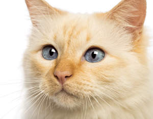 A red pointed Birman with brilliant blue eyes