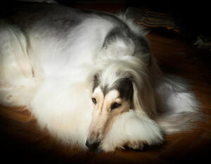 An afghan hound having a well deserved rest