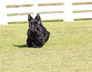 A beautiful little Skye Terrier with a long, black coat and tall, pointed ears