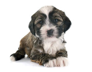 A beautiful little Tibetan Terrier puppy lying neatly with it's paws together
