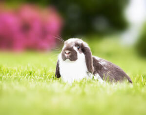 A Mini Lop rabbit with a wonderful soft white and grey coat