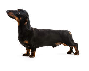 The healthy long body of a black coated Dachshund