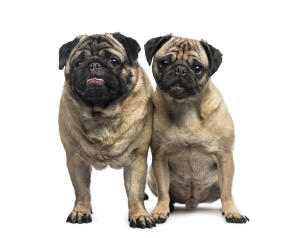 Two adult pugs enjoying each others company
