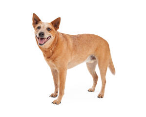 An adult brown Australian Cattle Dog with a stripped back coat