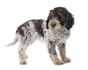 A beautiful Lagotto Romagnolo with lovely soft ears and a gorgeous face