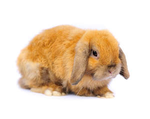 A French Lop rabbit with beautiful fox coloured fur