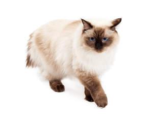 A prowling Ragdoll cat