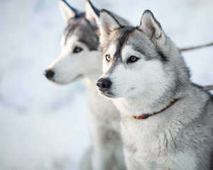 Two Siberian Huskies with their ears tall, waiting for the next command
